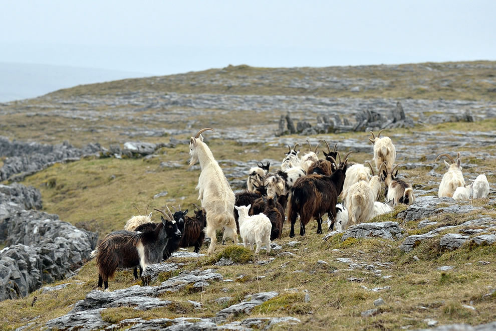 Feral goats on The Burren