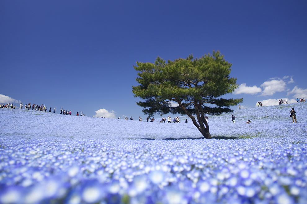 Field of flowers at Hitachi Seaside Park