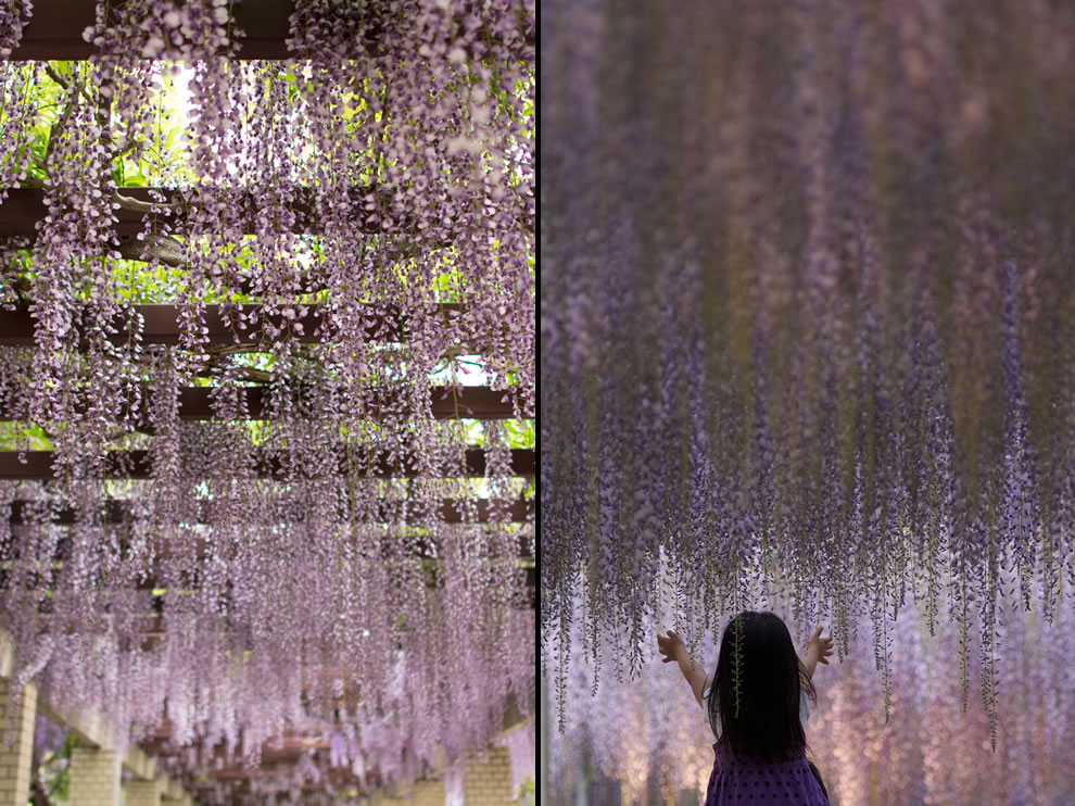 Giant wisteria hanging from canopies in Japan