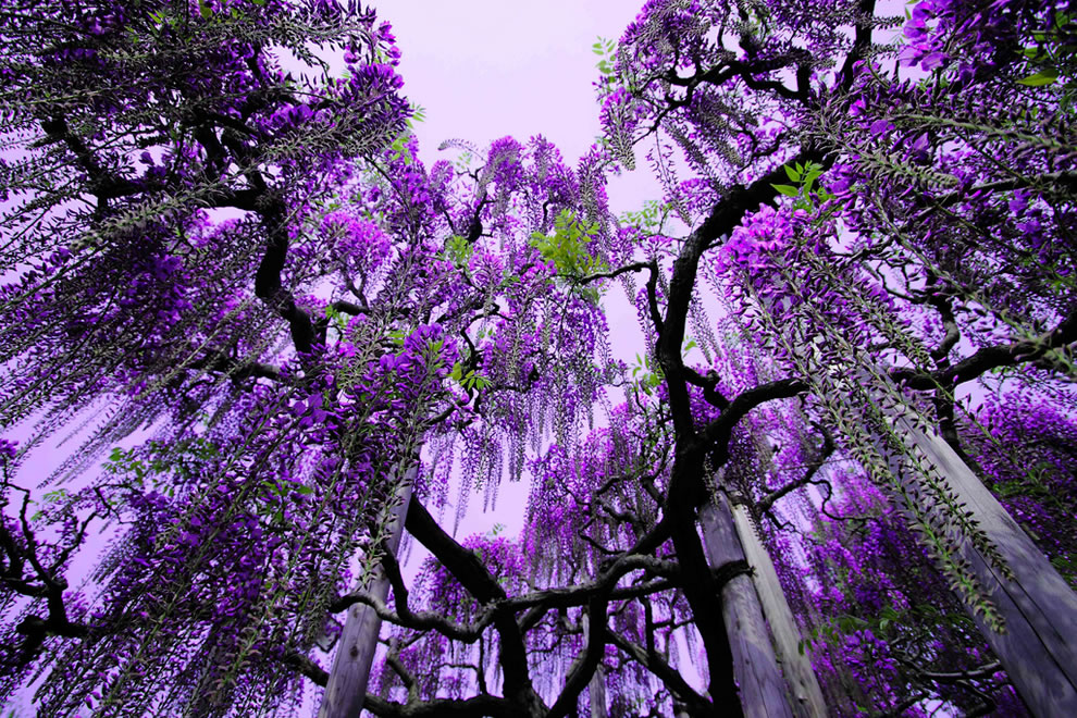 Purple wisteria at Ashikaga Flower Park