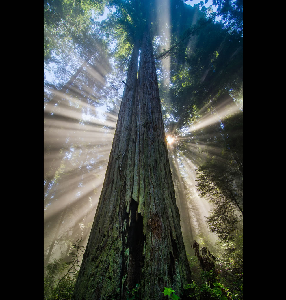 Redwood Starburst, light rays, fog and giant redwoods