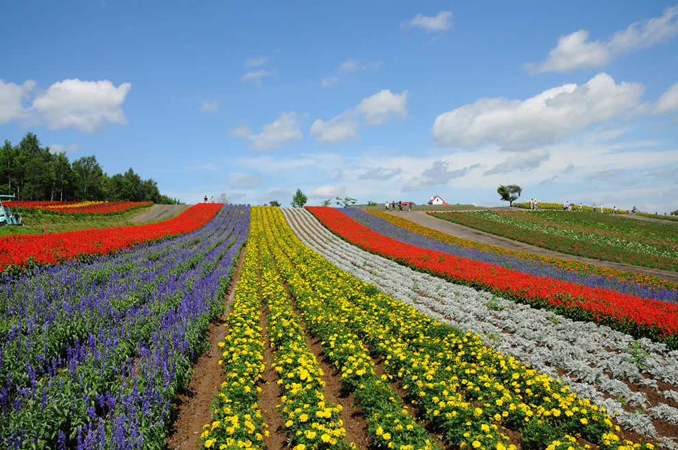 Shikisai flower fields
