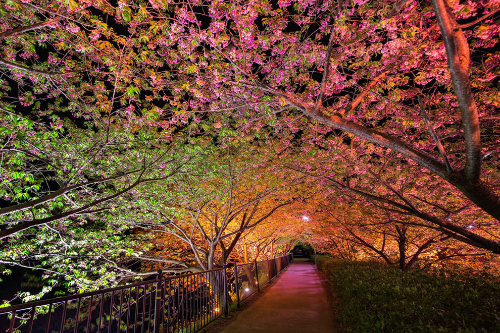 Tunnel of love in Japan, night with trees starting to bloom in spring