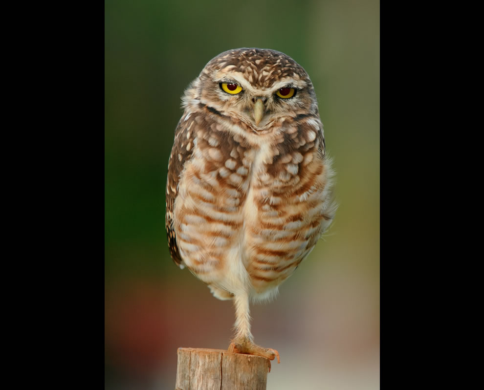 4th place Wikimedia POTY 2013 winner, Burrowing Owl standing on one leg