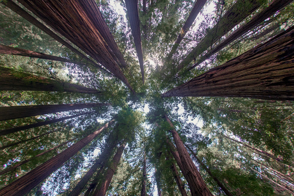 A gift from God Looking up at the redwoods in Muir Woods