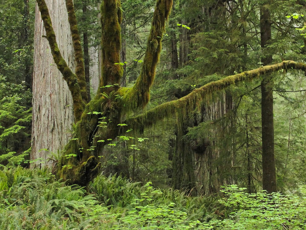 Bigleaf maple (Acer macrophyllum) on Jedediah Smith Redwoods Mill Creek Trail