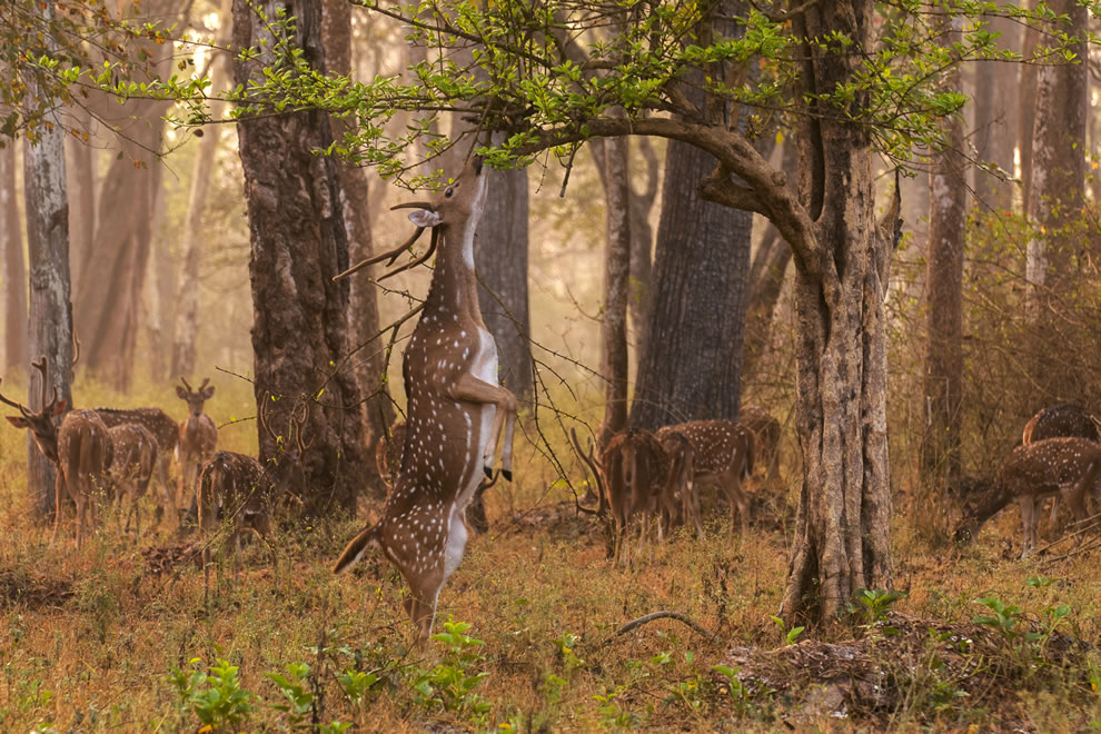 Chital stag attempting to browse on a misty morning in Nagarhole National Park, India, 9th place