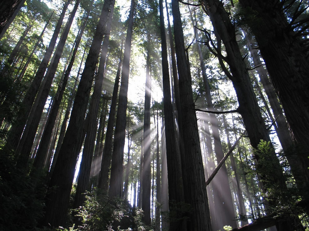 Crepuscular rays, sunlight shining through the redwoods at Redwood National and State Parks