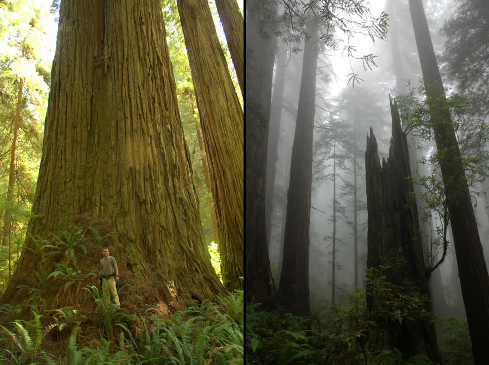 Del Norte Titan, Screaming Titans in the secret Grove of the Titans and foggy Del Norte Coast Redwoods State Park