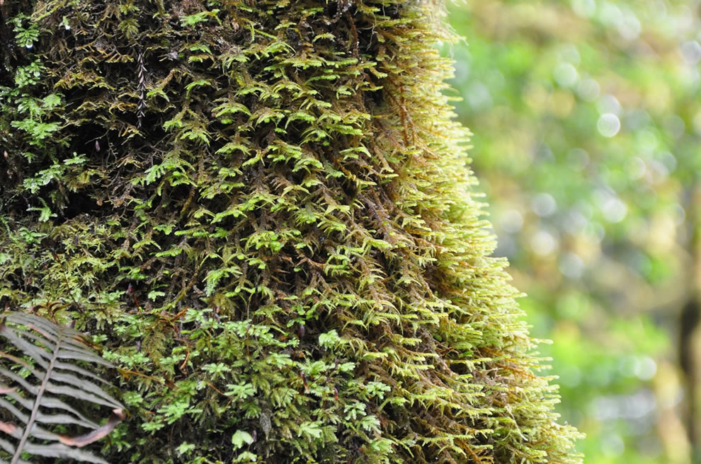 Jedediah Smith Redwoods State Park, mossy trunk in Simpson-Reed Grove
