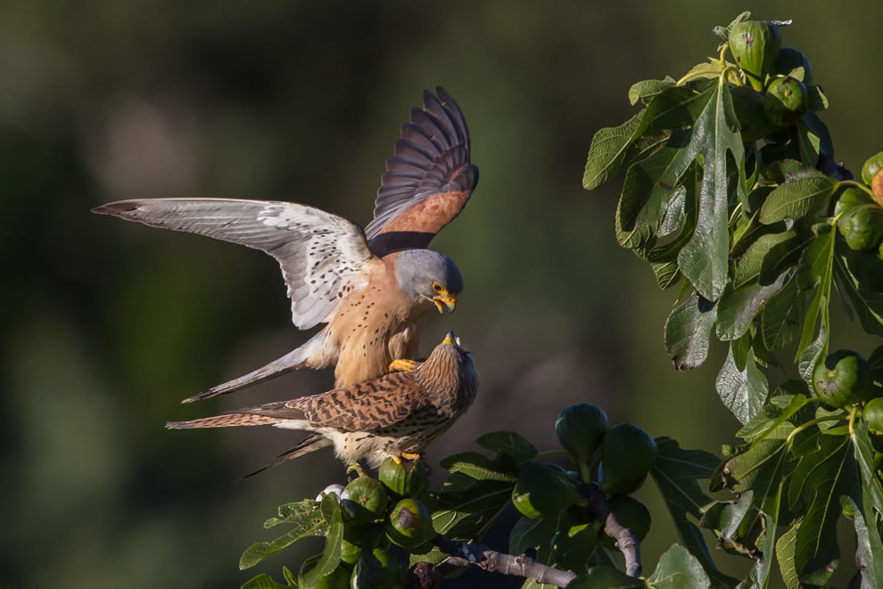 Lesser Kestrel birds mating in Herault, France