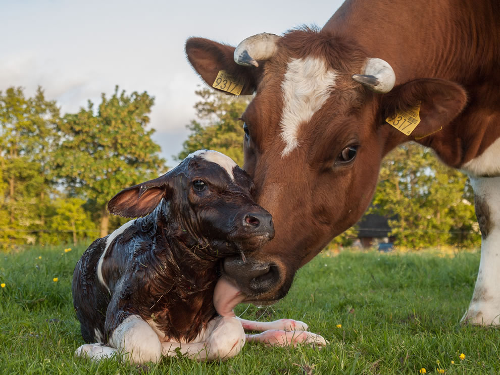 New born calf of a Frisian red white cow, 12th place Wikimedia Commons
