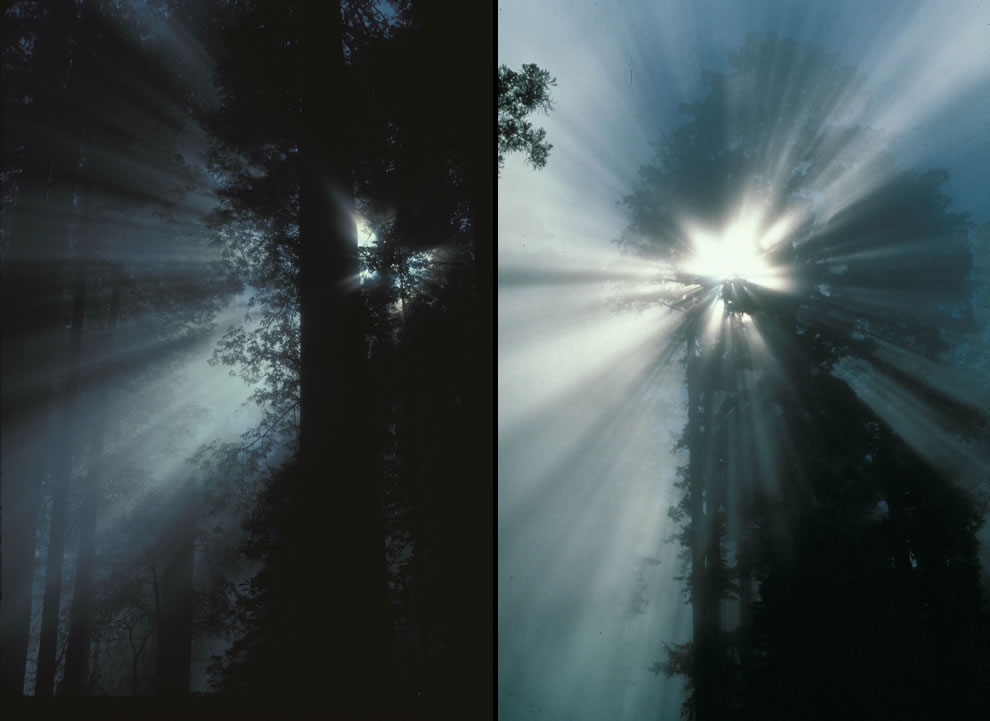Redwood Rays through the fog, crepuscular rays, starburst in coastal redwoods