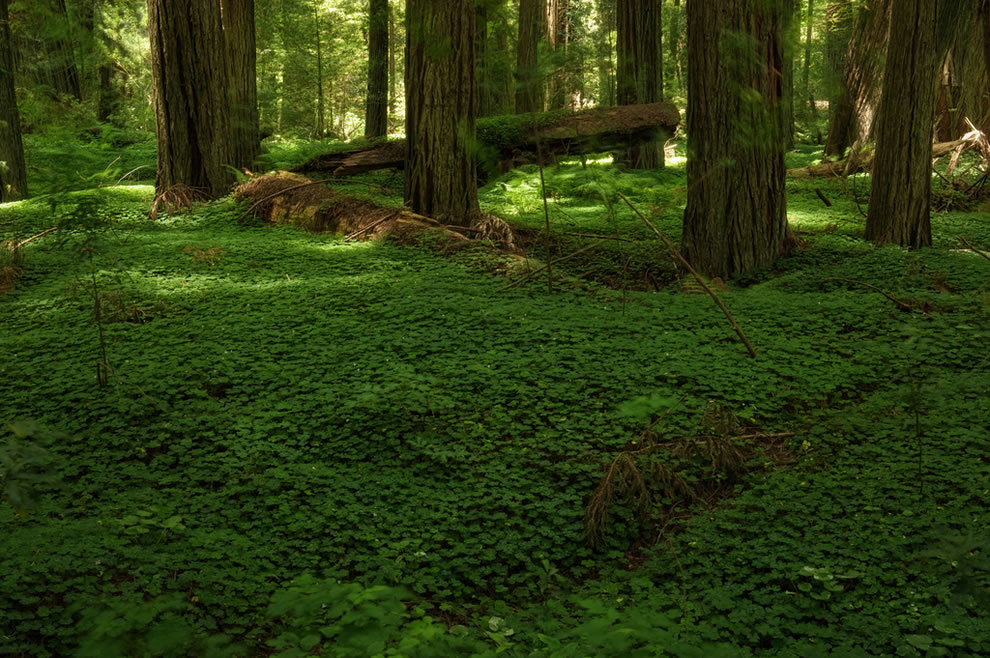 Redwoods, green forest floor