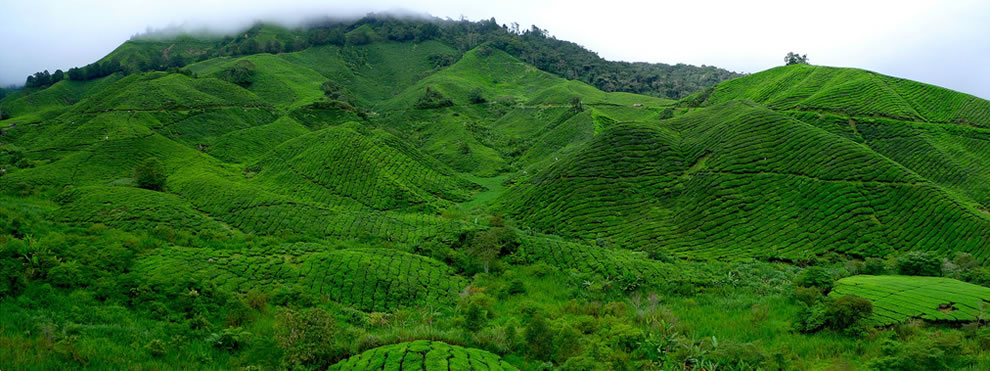 A panorama of Malaysia's largest tea plantation in the Cameroon highlands outside Kuala Lumpur