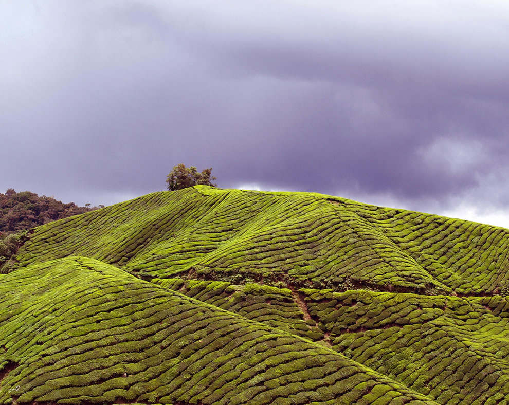 BOH Tea Plantation, largest tea plantation in Malaysia and largest black tea manufacturer in Malaysia
