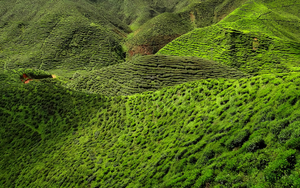 Example of intricate labyrinth of Camellia sinensis bushes on a tea plantation