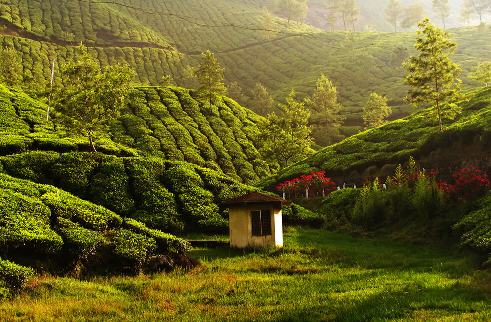 Green and peaceful, tea estate in Munnar