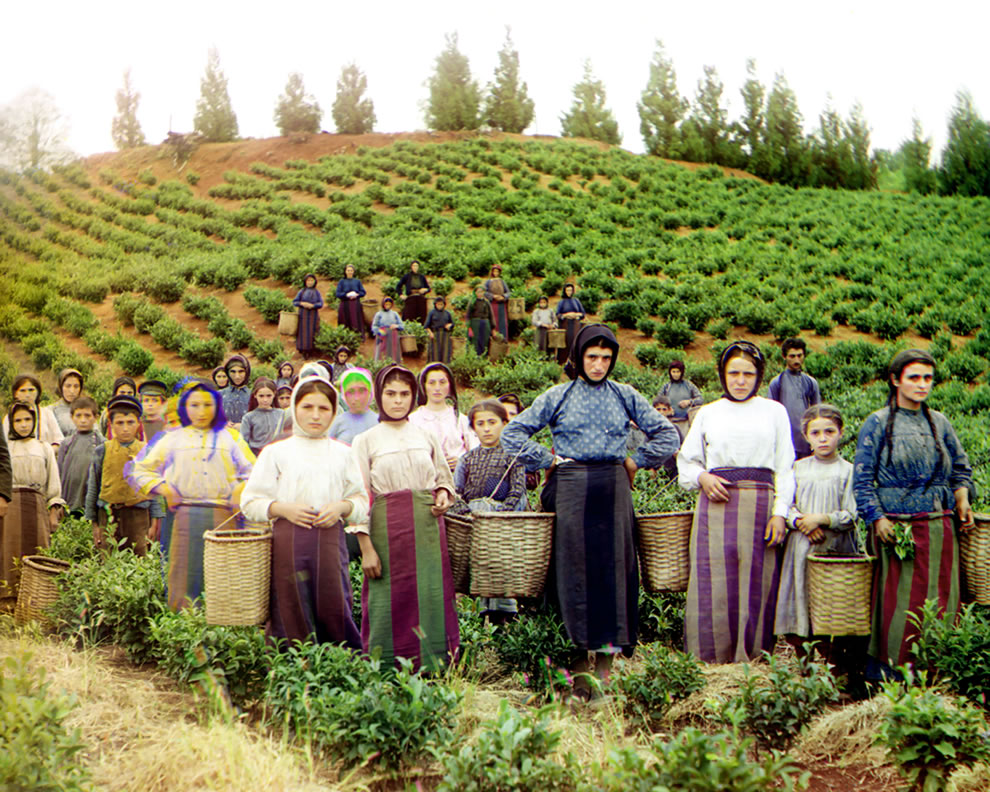 Group of Greek girls and women workers harvesting tea circa 1905 - 1915