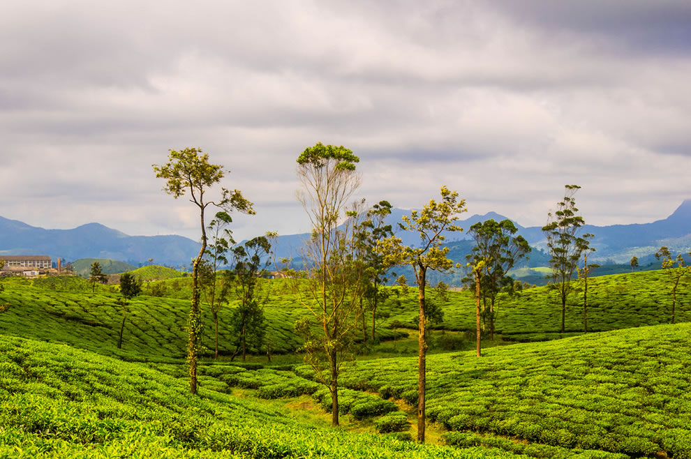 India tea plantation, Nallamudi View Point, Blue Mountains