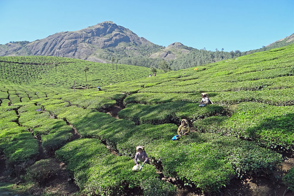 Picking tea in Kerala, India
