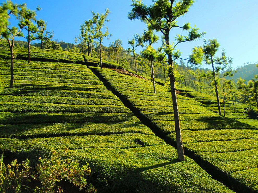 Tea Estate in Ooty, India