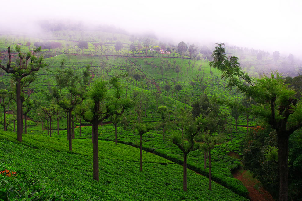 Tea estate at Coonoor India