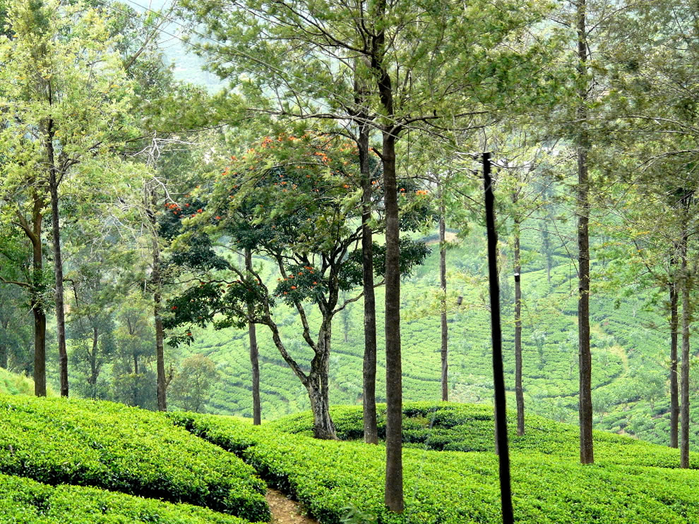 Tea plantation Peradeniya Gardens in Sri Lanka