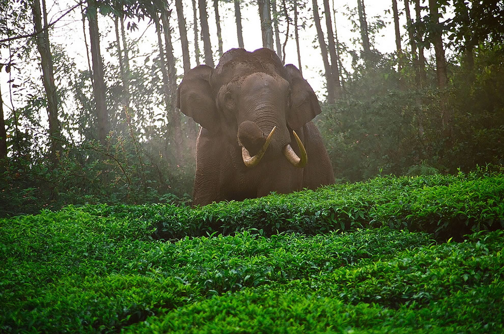Wild elephant in a Tea Plantation above Munnar