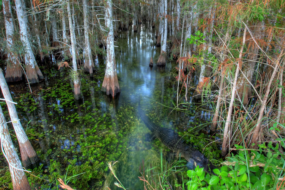 Alligator among cypress at Everglades National Park