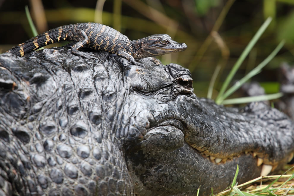 Baby alligator playing with mom, Everglades