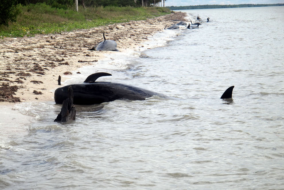 Beached whales, Highland Beach, Everglades National Park