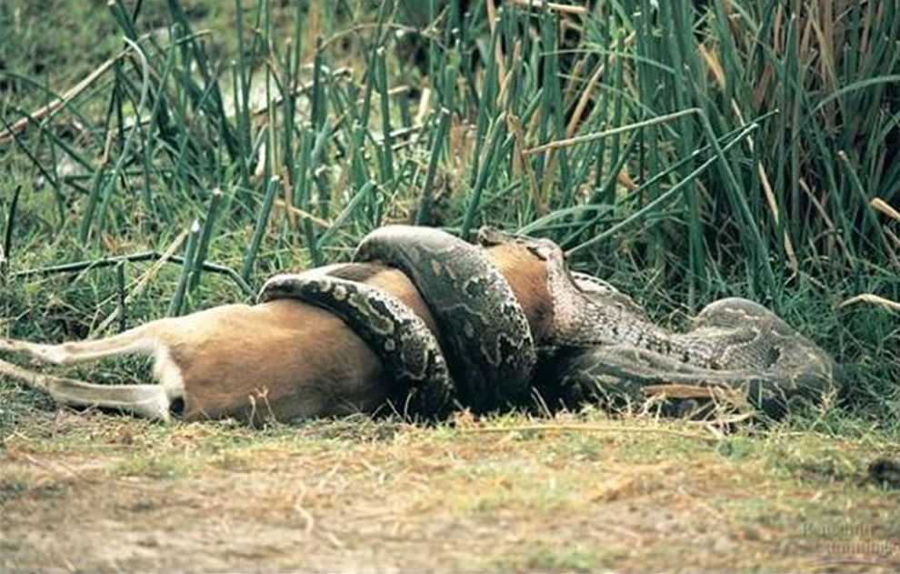 Burmese python eating deer, other Everglades wildlife sparked the great Florida snake hunt