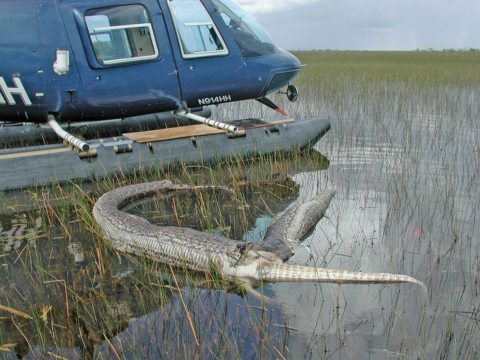 Dead Gator who ate Python