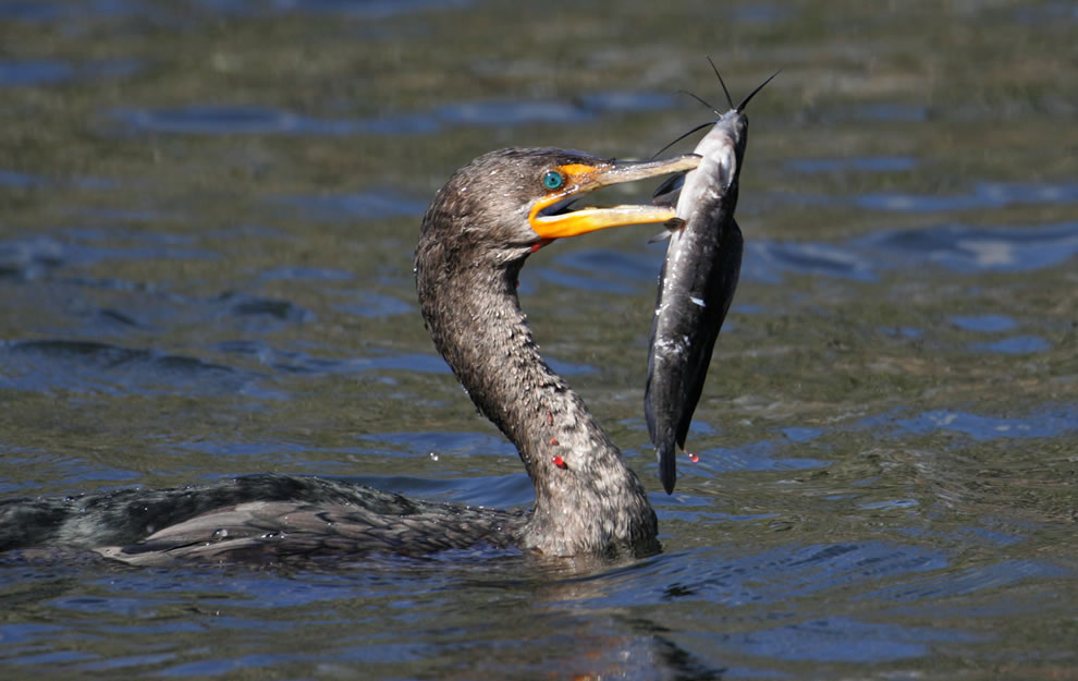 Double Crested Cormorant fishing at Everglades National Park