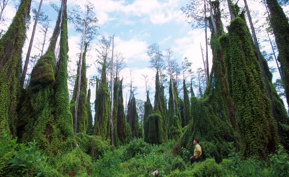 Old world climbing fern infestation in southern Florida