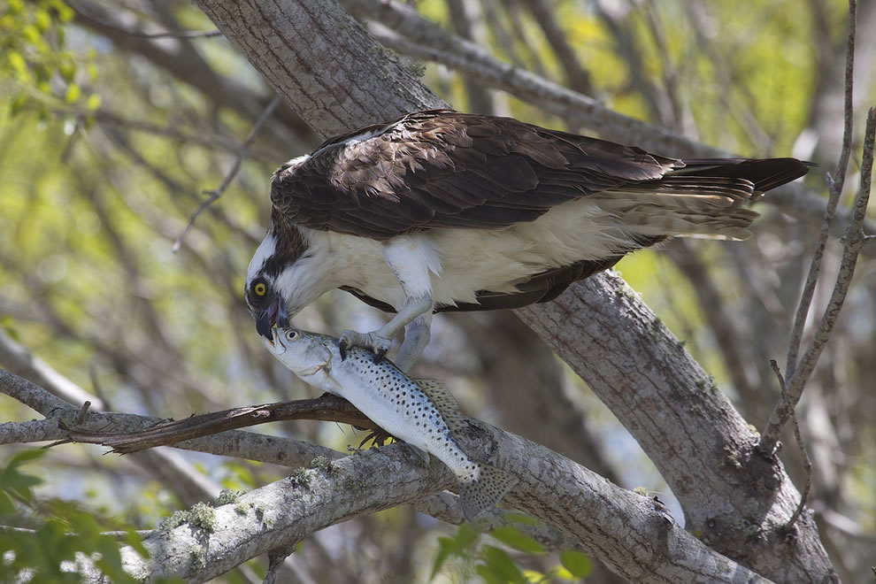 Osprey and Spotted Seatrout at Everglades National Park