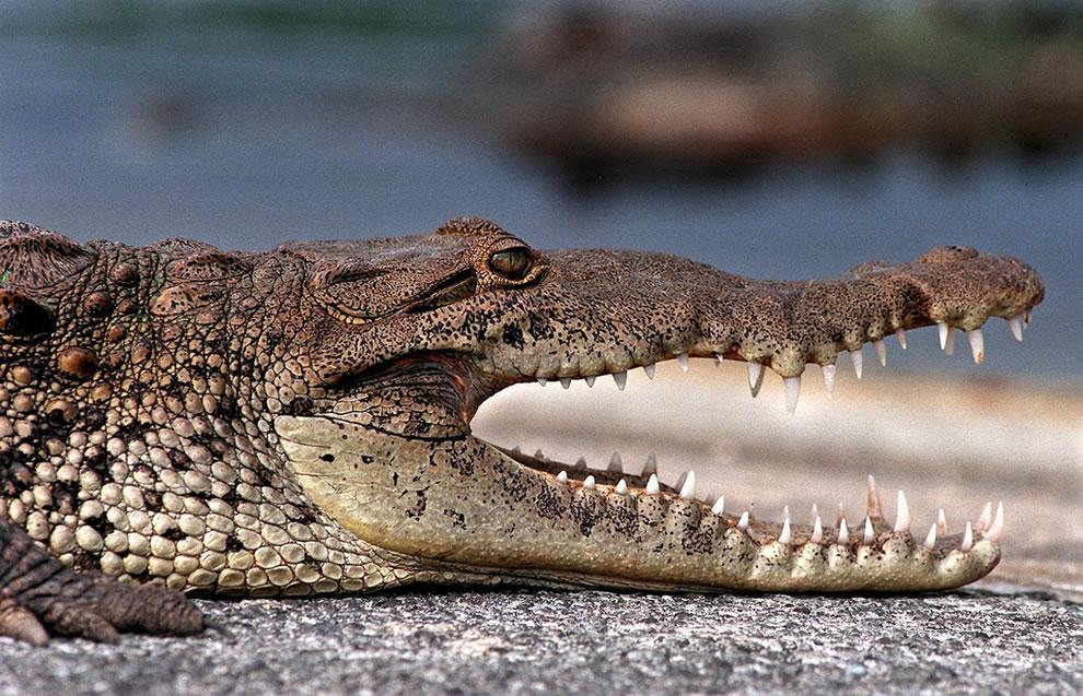 Profile of American crocodile