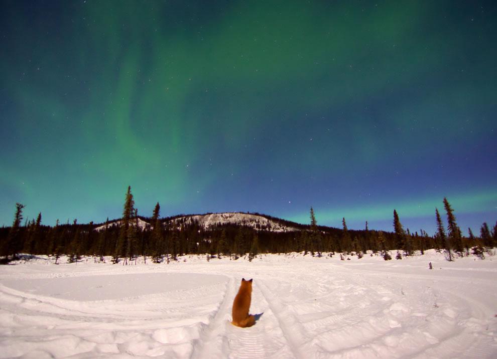 Fox watches the Aurora Borealis