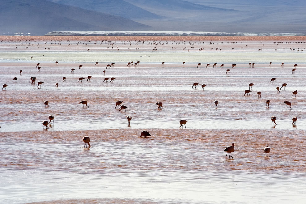 Andean Flamingos at Laguna Colorada, Bolivia