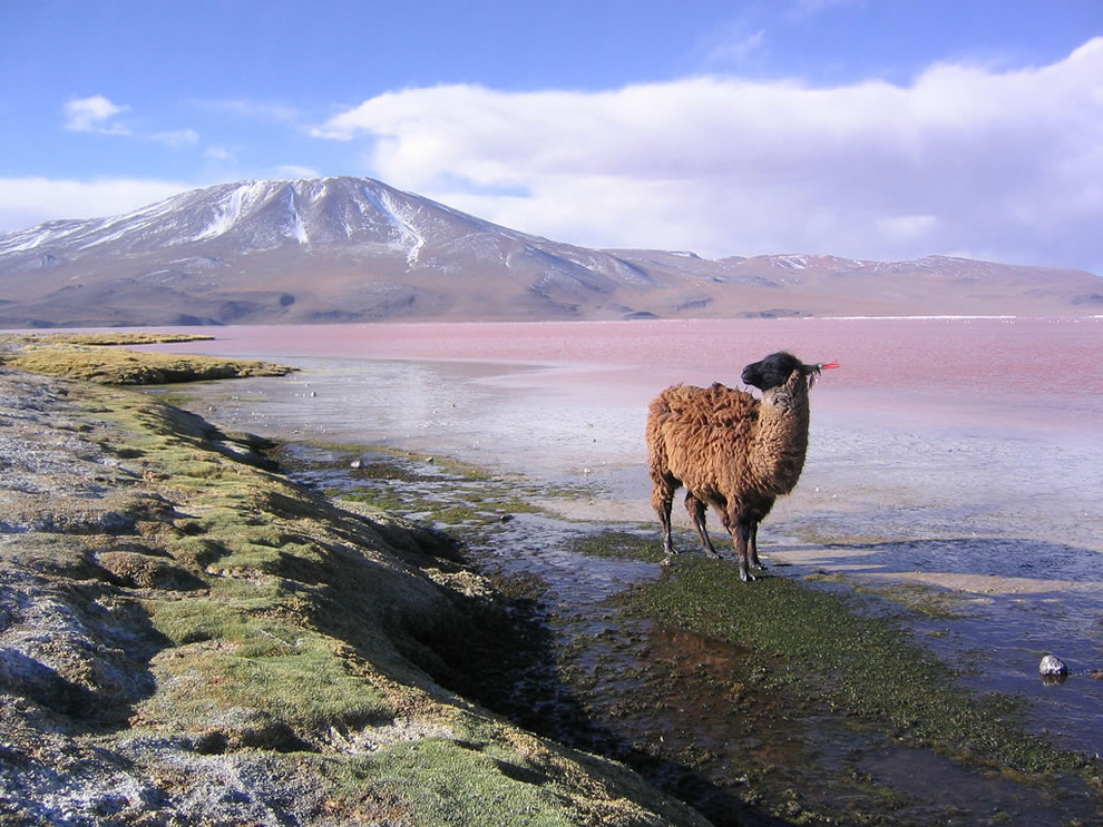 Lama, Red Lagoon Laguna Colorada and Punta Grande