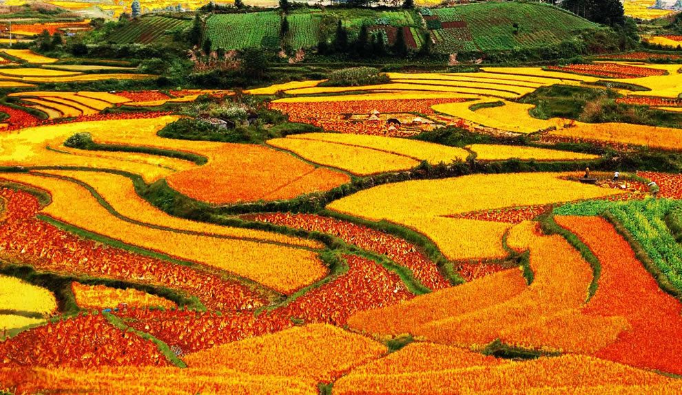 Terraced rice fields in autumn