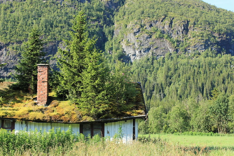 Conifer trees on overgrown grass roof in Norway