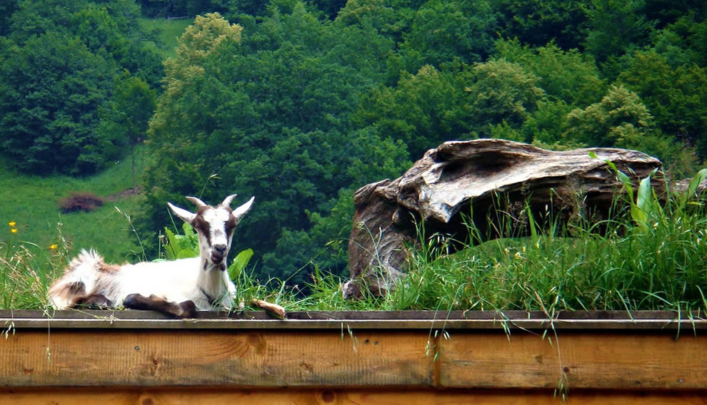 Goat roof mower in Lara Valley Romania