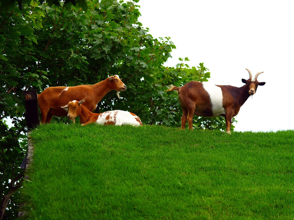 Goats on the grass roof in Wisconsin