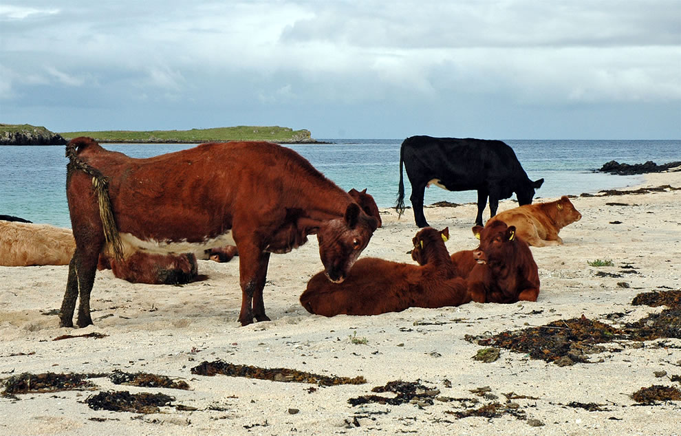 Claigan coral beach cattle