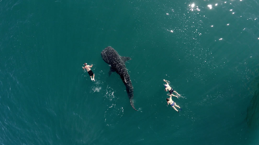Dronestagram contest entry Whale shark and tourists