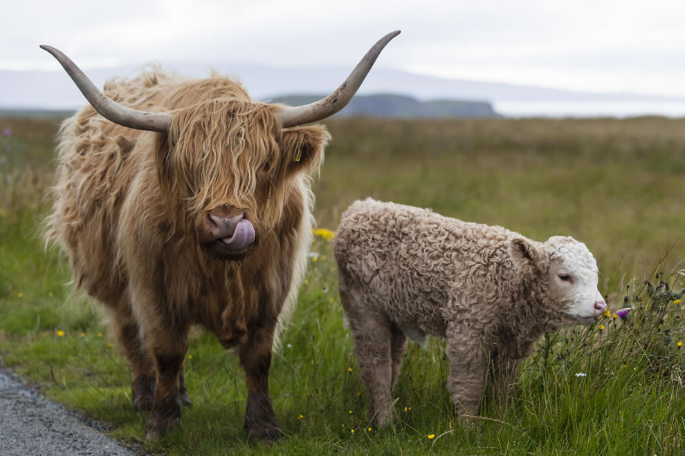 Highland cattle on Isle of Skye