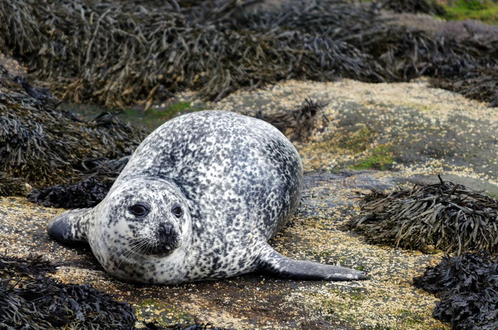 Seal on Skye