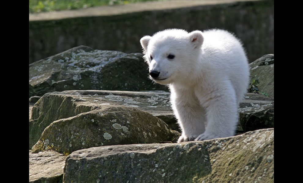 Berlin Zoo Knut Polar Bear 2007